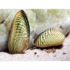 Моллюск двухстворчатый золотой