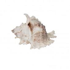Морская раковина РК-19 19*15*13см