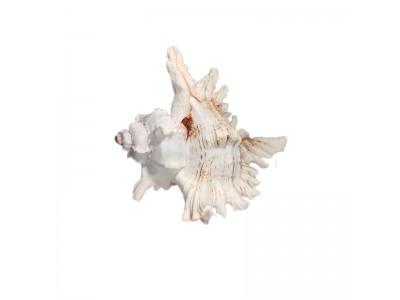 Морская раковина РК-1 15*13*10см
