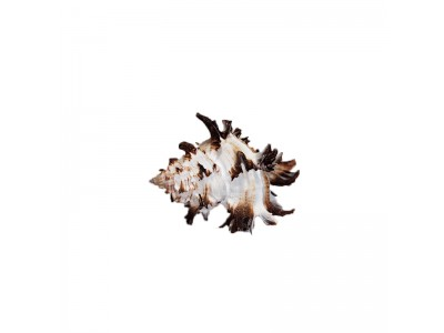 Морская раковина РК-3 8,5*7*6см