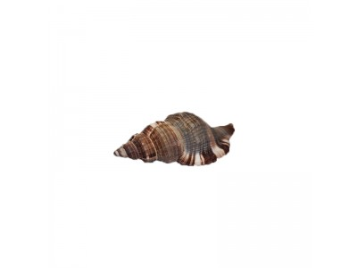 Морская раковина РК-6 7*3,5*2,5см