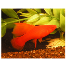Меченосец рубин флаговый