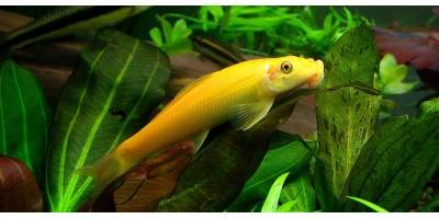 Гиринохейлус золотой